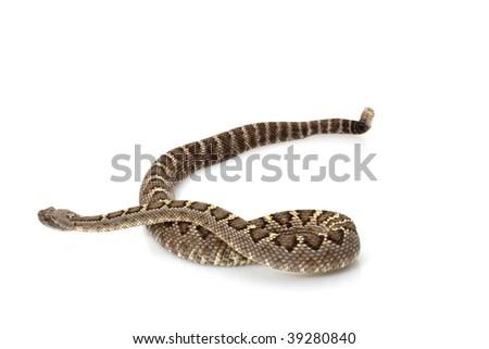Arizona black rattlesnake (Crotalus cerberus) isolated on white background - stock photo