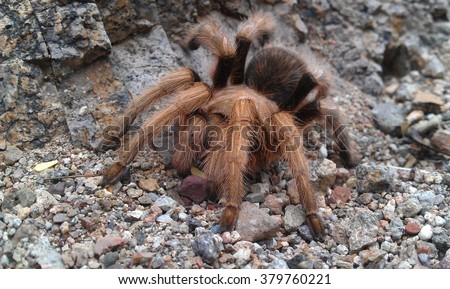 Arizona blonde tarantula spider on gravel.