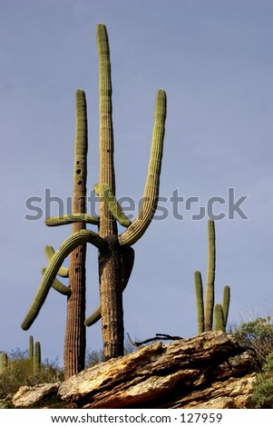 Arizona - Double Cactus (exclusive at shutterstock)