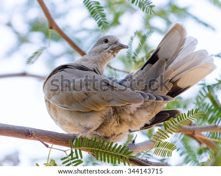 Arizona most common and widely occurring game bird, the Mourning Dove - stock photo