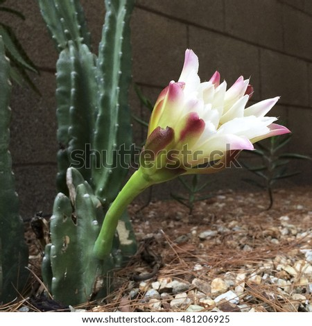 Arizona most popular garden cactus reaching above the backyard fence with a flower that blooms only in the night and early morning hours