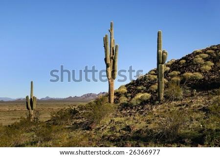 Arizona Sonoran Desert Saguaro Cacti Symbol Stock Photo Royalty