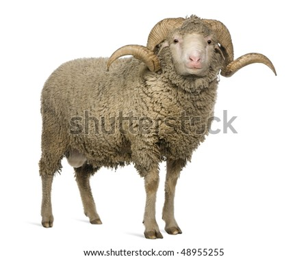 Arles Merino sheep, ram, 3 years old, standing in front of white background - stock photo