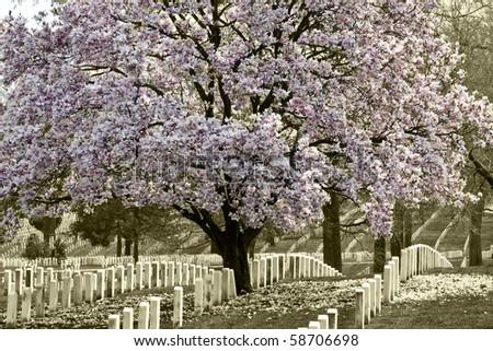 Arlington Natoinal Cemetery. Cherri blossom. - stock photo
