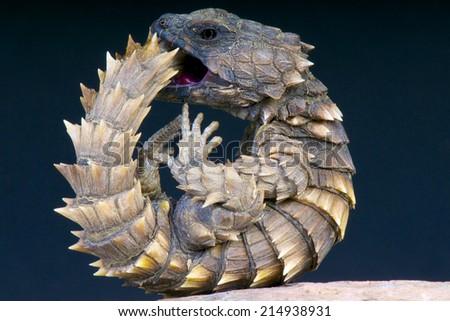 Armadillo girdled lizard / Cordylus cataphractus,South Africa - stock photo