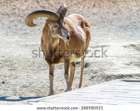 Armenian mouflon (male) standing - stock photo