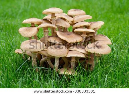 Armillaria Fungus -  Honey Fungus  - stock photo