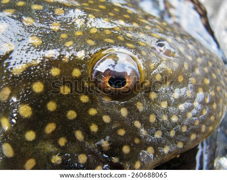 Armored catfish - stock photo