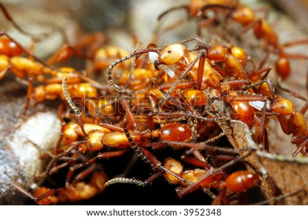 army ant workers forming a bridge - stock photo