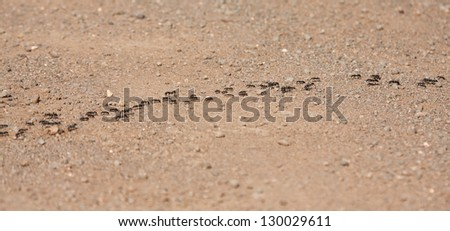 Army ants marching over bare ground to find food