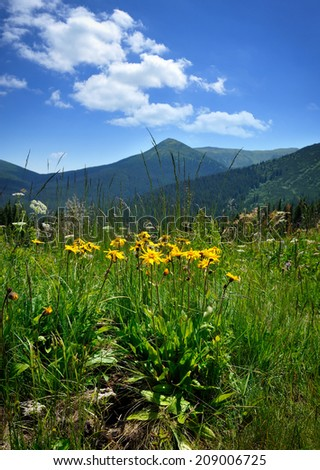 Arnica flowers (Arnica montana) on a background of mountains and blue sky - stock photo