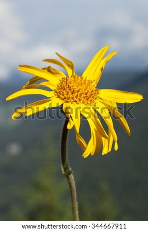 Arnica montana - stock photo