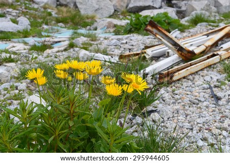Arnica Montana blooming by construction scrap - stock photo