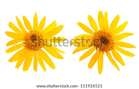 Arnica Montana flower on white background - stock photo