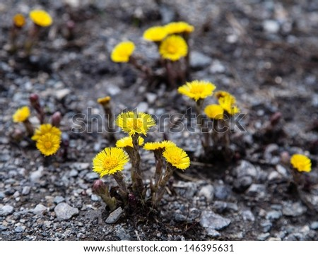 Arnica montana in the Alps  - stock photo