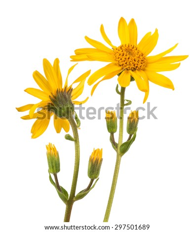 Arnica montana isolated on white background - stock photo