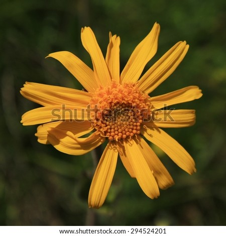 Arnica Montana, medical herb - stock photo