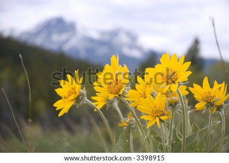 Arnica Rocky Mountain Wild Flower - stock photo
