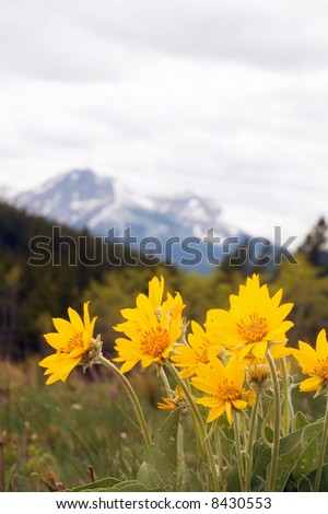 Arnica Rocky Mountain Wild Flower. - stock photo