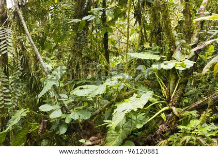 Aroid climber with big leaves in the interior of humid cloudforest on the coastal range in western Ecuador - stock photo