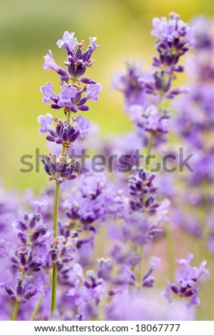 aromatic bunch of lavender isolated on green background - stock photo