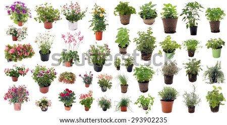 aromatic herbs and flower plants in front of white background - stock photo