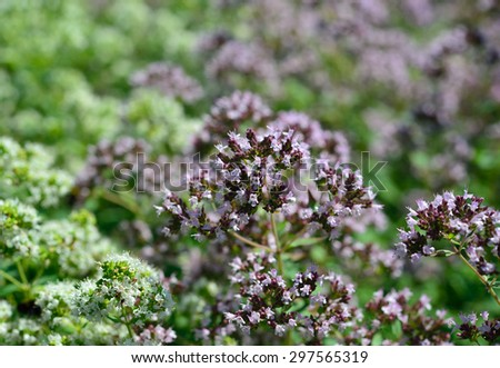Aromatic herbs in the natural environment. Origanum vulgare  - stock photo