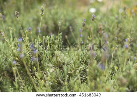 Aromatic Lavender bush growing wild in Malta, selective depth of field blur - stock photo