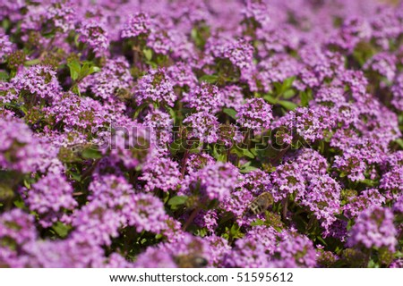 Aromatic Wild thyme - stock photo