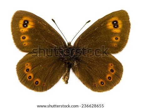 Arran Brown (Erebia ligea) butterfly - stock photo
