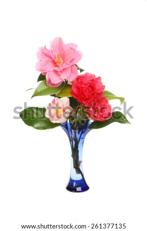 Arrangement of camellia flowers in blue glass vase isolated against white - stock photo