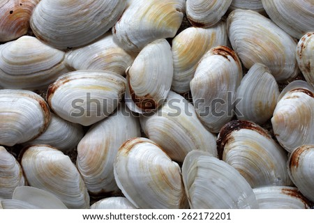 Arrangement of soft-shell clam (Mya arenaria) shells. Collected at the Baltic sea, Estonia.  - stock photo