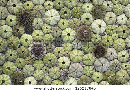 Arrangement of various green empty sea urchin shells, picked at Norwegian coast. - stock photo