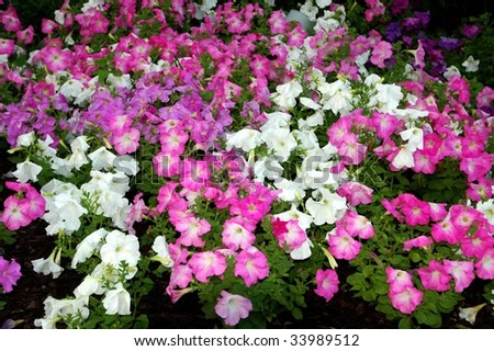 Array of Morning Glories in garden - stock photo