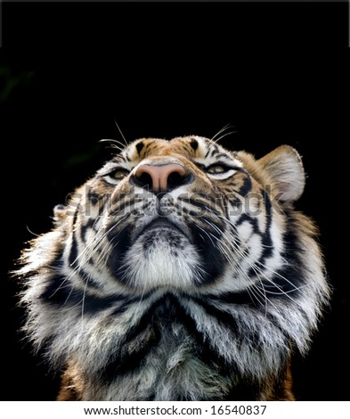 arrogant tiger portrait