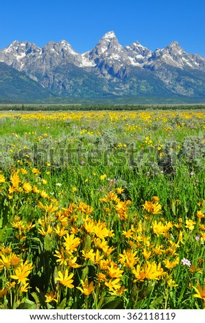 Arrowleaf Balsam Root Arrowleaf Balsamroot Flowers , Grand Teton National Park, Wyoming, USA