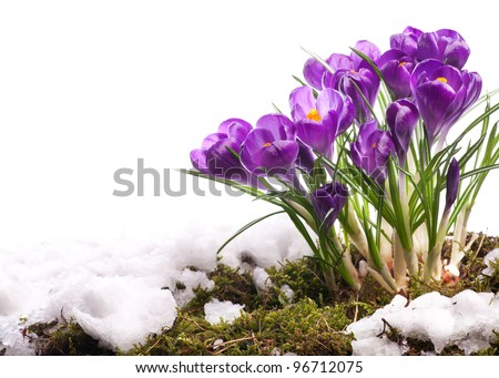 art Beautiful easter Spring Flowers isolated on white background - stock photo