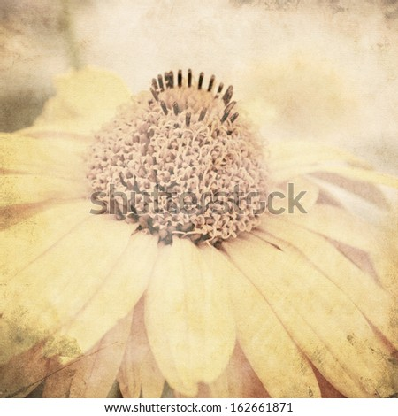 art floral vintage sepia background with one light yellow chamomile, macro