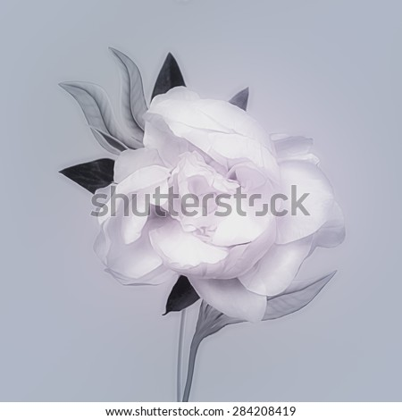 art monochrome vintage watercolor blurred floral pattern with white peony isolated on light blue background with space for text  - stock photo