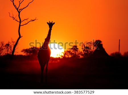Art photo of  Angolan Giraffe, Giraffa camelopardalis angolensis, backlit by setting sun, coming to waterhole in dusty evening.  Red and dark orange background with plam tree silhouette.
