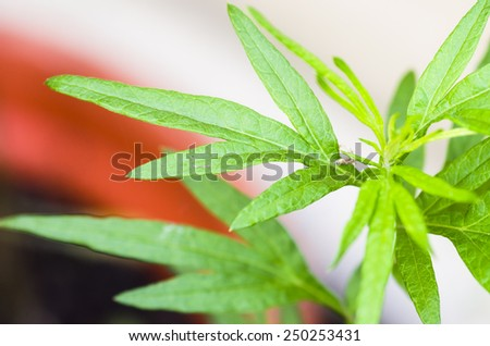 Artemisa vulgaris - stock photo