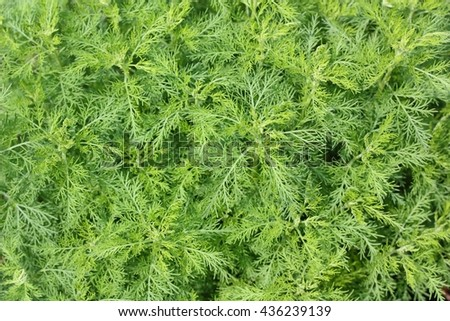 Artemisia abrotanum (southernwood, lad's love, southern wormwood), species of flowering plants in the sunflower family - stock photo