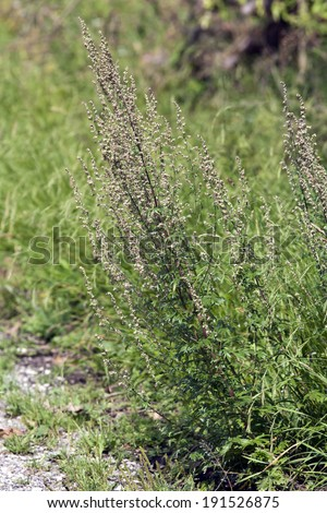 Artemisia vulgaris, Mugwort - stock photo