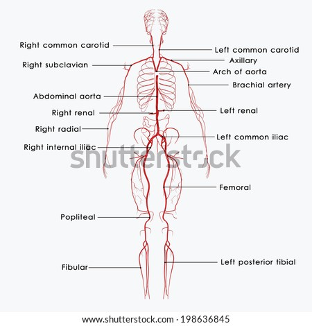 Arteries labelled - stock photo