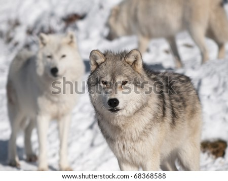 Artic wolf in winter - stock photo