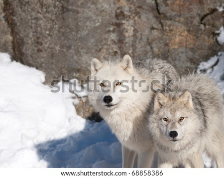 Artic wolf in winter. - stock photo