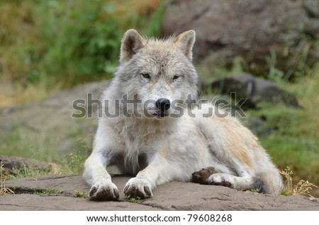 Artic wolf lying down after a rain storm. - stock photo