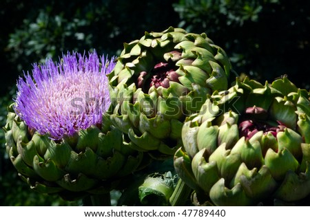 Artichoke Flower and Artichokes growing - stock photo