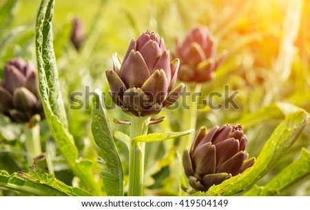 Artichoke plant with purple blossom - stock photo