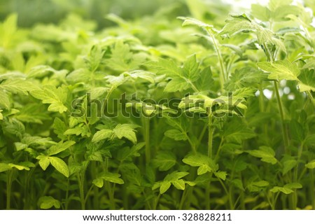 Artificial lighting of young tomato seedlings in a period of rapid growth before planting in the ground - stock photo